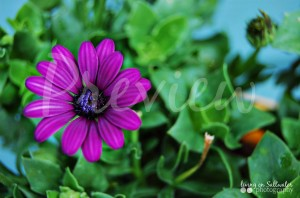 Living on Saltwater Photography - Purple Flowers