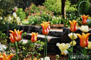 Living on Saltwater Photography -Tulips Duke Gardens